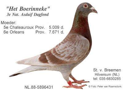 Racing pigeons breeding methods - photo#12
